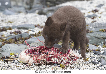 Puppy Commanders blue arctic fox who eats guillemot near the...