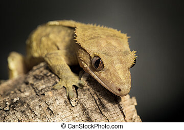 New Caledonian crested gecko on a tree trunk - New...