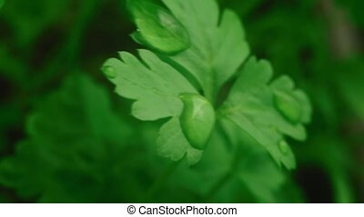 Close-up of green parsley - parsley close-up with drops of...
