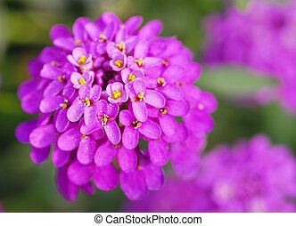 pink iberis sempervirens flower - isolated shot of pink...