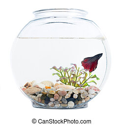 Siamese fighting fish in fish bowl isolated over white...