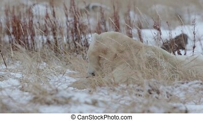 Polar bear lying on the snow and eating - Steady shot of...