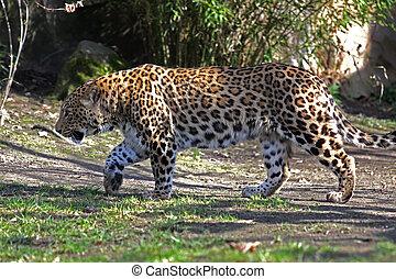 Persischer Leopard,Panthera pardus saxicolor