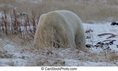 Polar Bear sitting on snow and eating from the ground