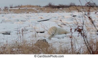 Polar bear sleeping on the snow - Wide shot of Polar bear...
