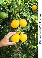 Picking lemons from tree