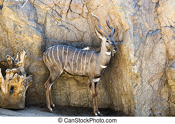 Antelope - An antelope rest in a shaded area, keeping a...