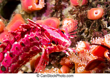 Crevice kelpfish on color reef - A red and pink crevice...