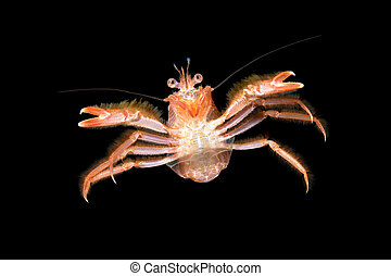 Small tuna crab at night - A small tuna crab brought to...