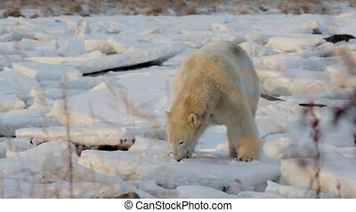 Polar bear lying on his belly on the snow - Beautiful shot...