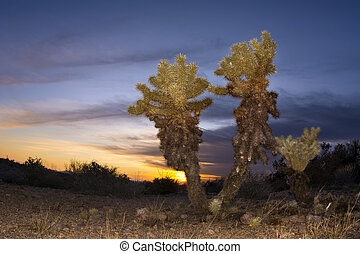 Cholla cactus in desert at sunset - An image of a cholla...