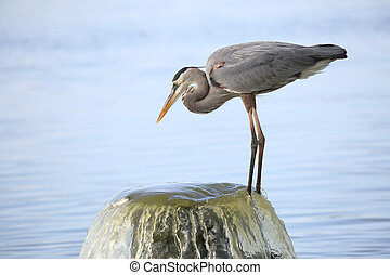 Great Blue Heron Perched on a Water Outflow Pipe - Great...