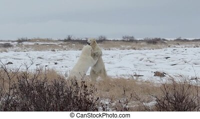 polar bears standing playing and sparring