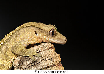 Lateral view of a new Caledonian crested gecko,...