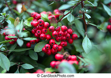 Bush with many red berries