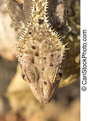 Head of a new Caledonian crested gecko - Closeup of the head...