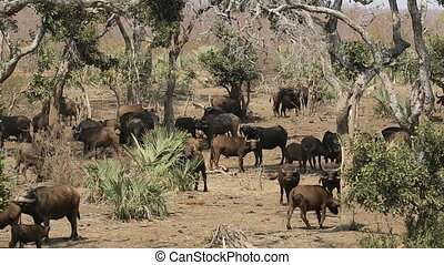 African buffalo herd - Herd of African buffaloes (Syncerus...