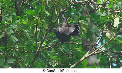 Flying fox hangs on a tree branch and washes - Lyles flying...