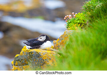 Puffins on Iceland Latrabjard cliff - One puffins sitting on...