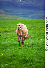 A lovely  Icelandic Horse in a field on a sunny day