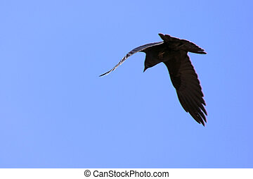 flying crow - A large black crow is flying through the air...