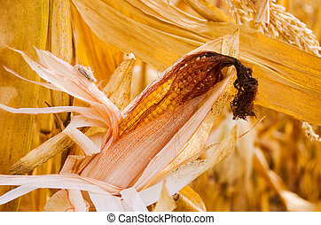 corncob - ripe ear of corn ready for harvest