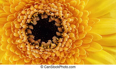 Dolly shot of a Gerbera - Lateral dolly shot of a Gerbera...