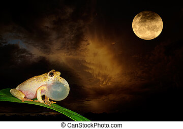 Painted reed frog and moon - African painted reed frog...