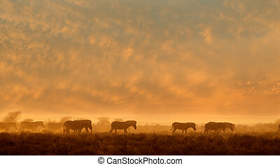 Zebras in dust at sunrise - Plains Zebras Equus burchelli...