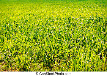 view of boundless green wheat field - panorama of boundless...