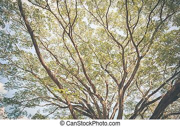 grande, mimosa, tree, ,