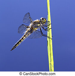 Four Spotted Skimmer Dragonfly on a piece of grass in front...