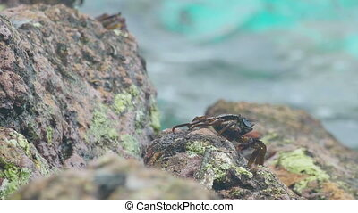 Crab and rockskipper on the rock at the beach - Crab on the...