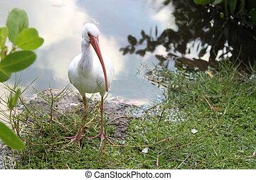 White Ibis Eudocimus Albus - White ibis walking on shoreline...