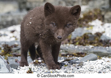 Commanders blue arctic fox puppy that looks directly into...