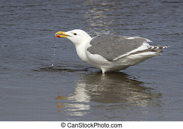 Glaucous-winged gull that stands in water and drinking water