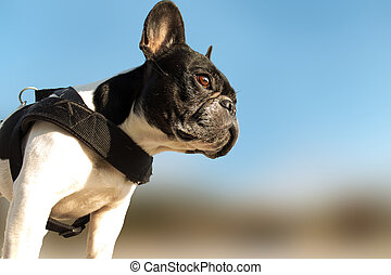 French bull dog - French bulldog viewed from below looking...