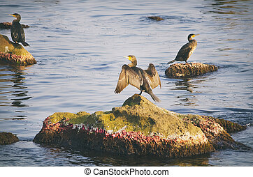 Cormorants at Sea - Some Cormorants at Sea