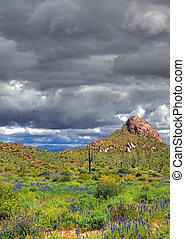 Sonora Desert Arizona - Desert wildflowers the Sonora desert...