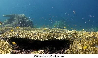 Underwater Hard corals on sea ocean. School fish.