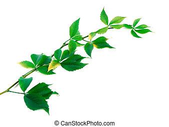 Twig of grapes leaves Parthenocissus quinquefolia foliage -...