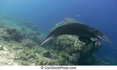 Manta Ray swimming in blue Ocean. Sea Marine Life.