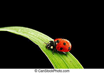 ladybug isolated on black - ladybug on grass isolated black...