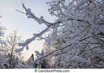 Scandinavian winter forest in the snow at sunset frosty day...