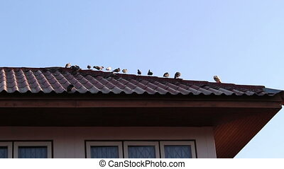 Pigeons on the roof - Pigeons Standing On The Roof home