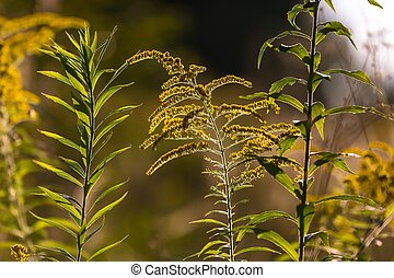 Goldenrod blooming - Goldenrod branches in sunlight.