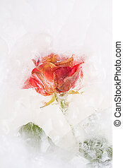 Frozen beautiful red rose flower, close up image