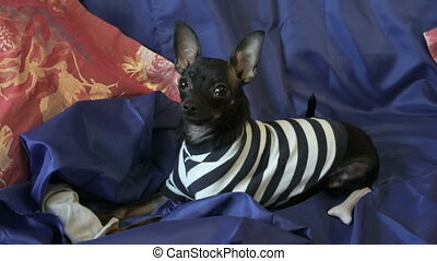 Dog toy-terrier barks and plays with a toy on a blue sofa...