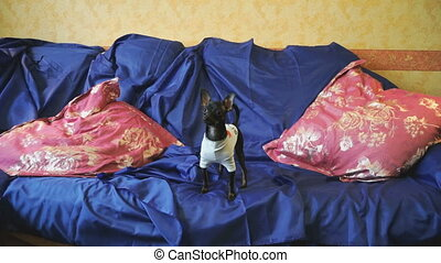 Dog Toy-terrier catches a toy on a blue sofa with red cushions