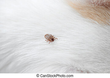 dog ticks - big ticks on a dog